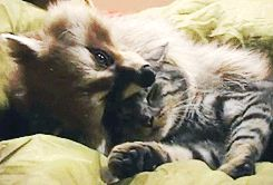 11 Raccoons Who Were Almost In 'Guardians Of The Galaxy' - MTV