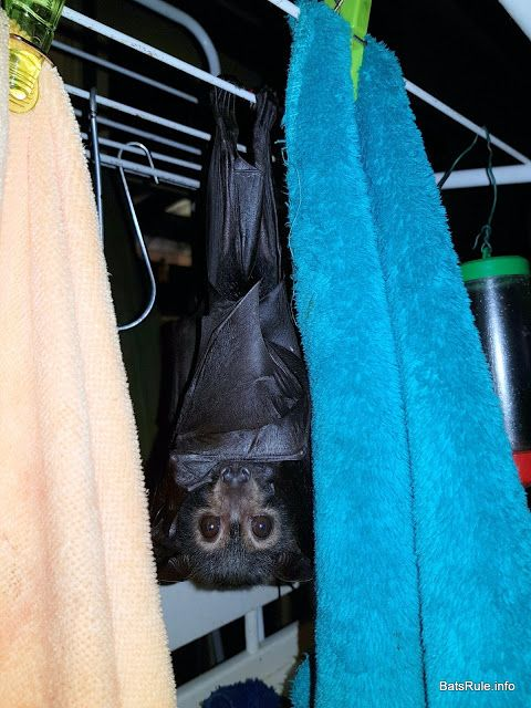 Rehab | Megabat babies Spectacled in care Flying-fox fruit bat