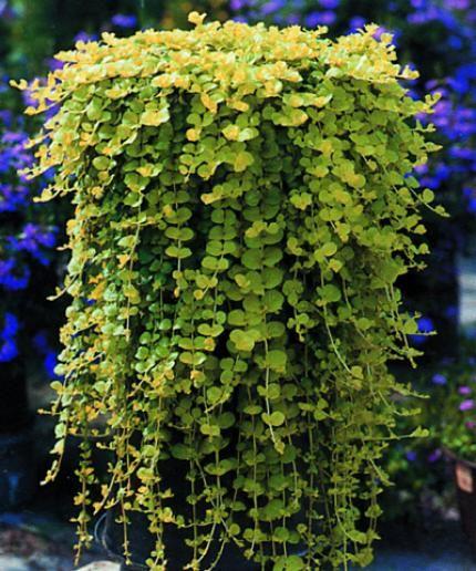 Duthoit Horticulture, production et vente de plantes, fleurs, arbres et arbustes - Plantes retombantes