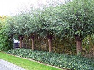 Salix alba (knotwilg-schietwilg)