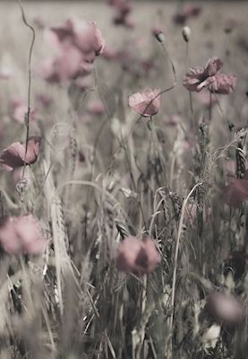 Pink flowers in a meadow. Available as poster at printler.com, the marketplace for photo art. Photographer days by leon.