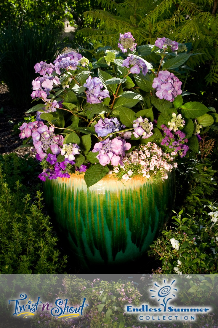 23 Best Hydrangeas In Containers Images On Pinterest