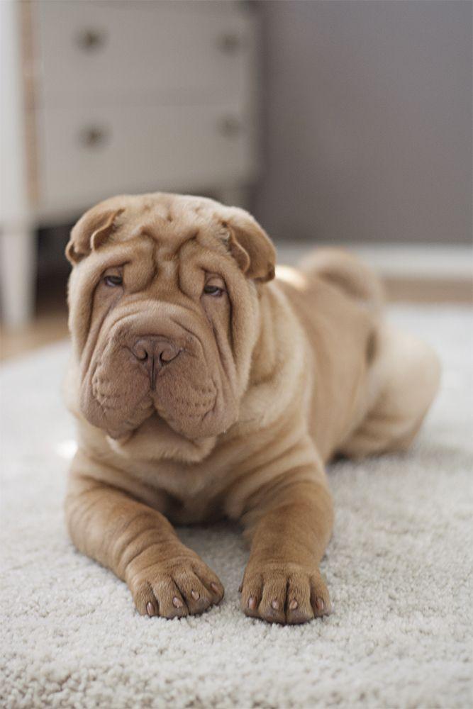 Shar-Pei puppy