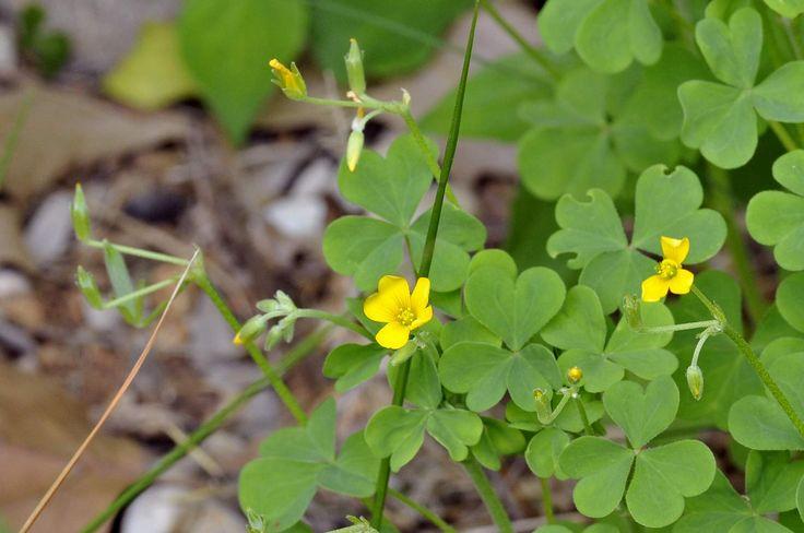 Acetosella dei campi (Oxalis corniculata)