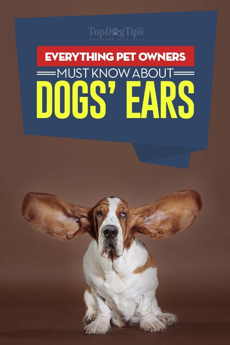 Dog Ears: How to Care for Them and Prevent Infections and Problems