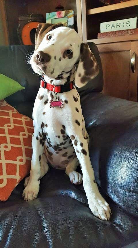 A very beautiful Dalmatian dog!