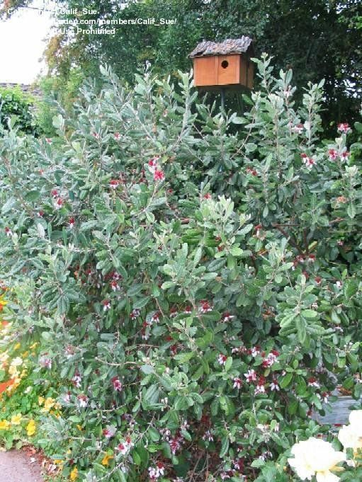 View picture of Pineapple Guava, Feijoa (Acca sellowiana) at Dave's Garden.  All pictures are contributed by our community.