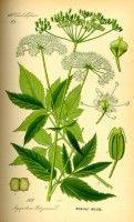 Botanische tekening zevenblad
