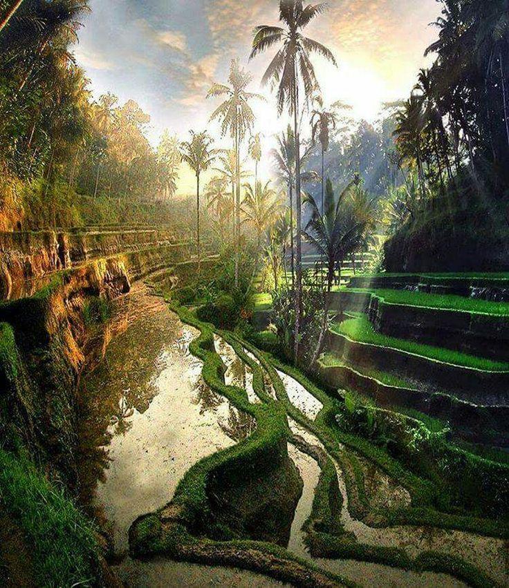 Indonésie : Rizières de Bali