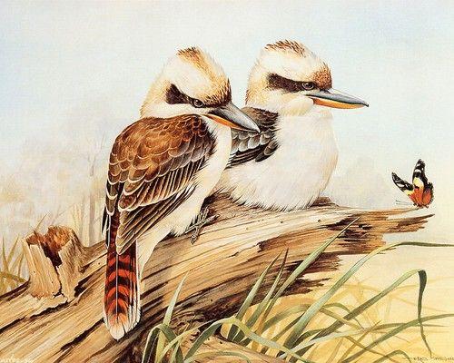 Two Kookaburra on branch | Australia