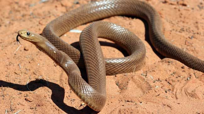 A bite from this Inland Taipan can take down 100 grown men! O_O Australia, why are you so dangerous?