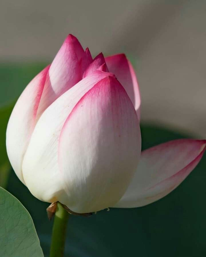 Mona Moni adlı kullanıcının Lotus panosundaki Pin   Güller