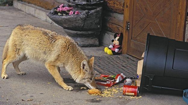 coyote-animales-planeta.jpg (624×351)