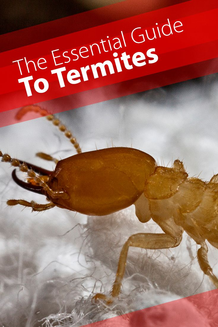 Basically everything a home owner should know about termites. Learn how to protect your home from termites @ http://www.jcehrlich.com/blog/essential-guide-to-termites/  It's estimated Termites cause more than $5 billion in property damage every year in the U.S. Eek!