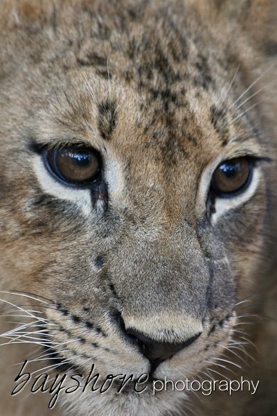 We appreciated this young cheetah's dark brown eyes as we captured this portrait of it's face one morning in Botswana by Bayshore Photography @bayshorephoto