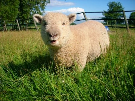 Olde English Babydoll Sheep