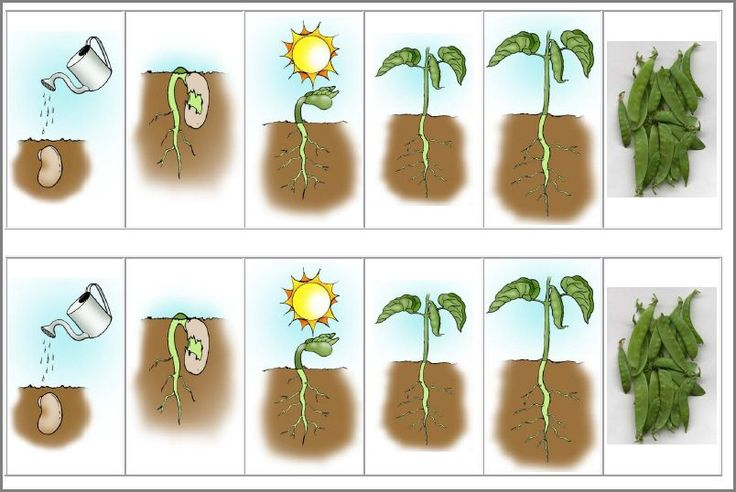 Life cycle of a bean #Science #homeschool #teach