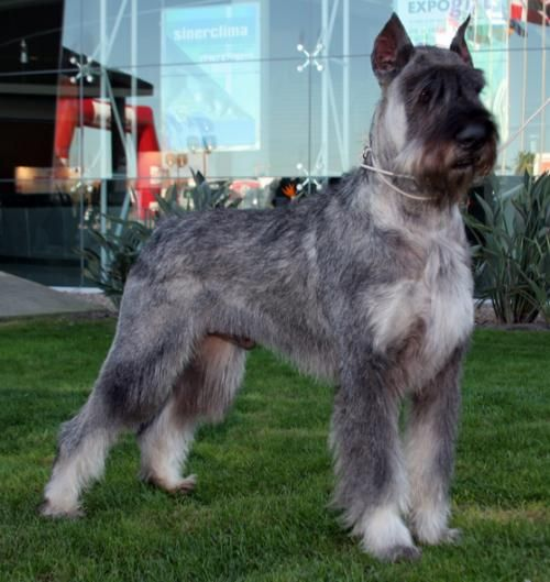 Salt and Pepper Giant Schnauzer...THIS will be my next dog. I love my mini so much!