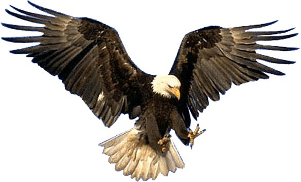 A bald eagle swooping down