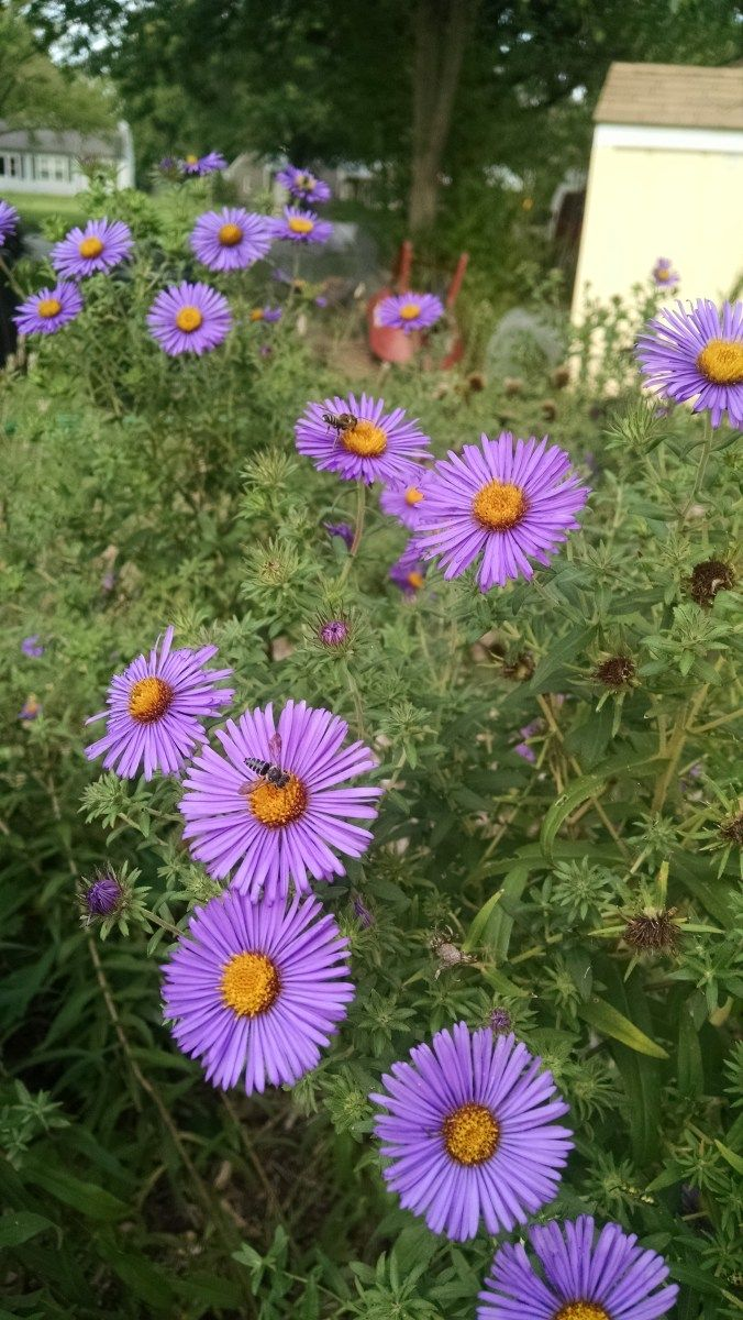 Native Plants For Native Bees And Honeybees New England Aster In 2020 Backyard Bee Native Bees Native Plants