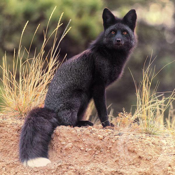 Black Foxes Request (½)