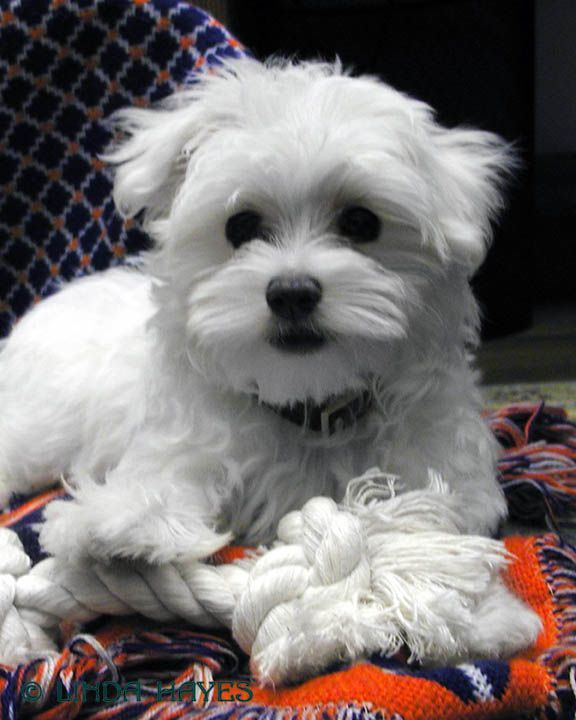 free maltese puppies best 25 free puppies for adoption ideas on pinterest 762