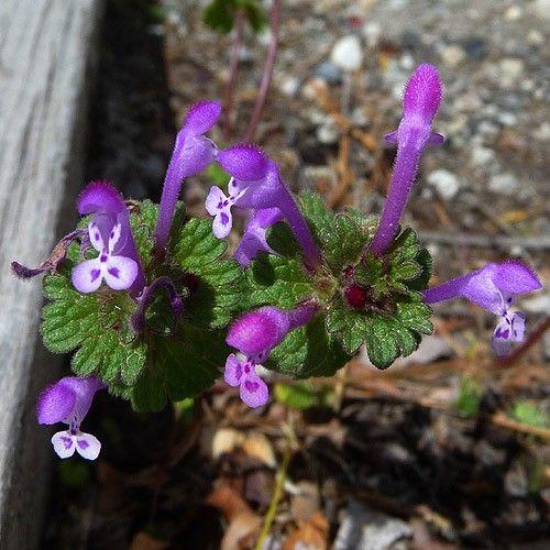 Native Edible Plants Australia: 13 Best Foraging: Henbit Images On Pinterest