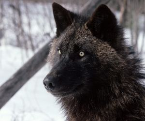 Black Tamaskan Dog | ... Wolf - Wolfdogs,Wolf Hybrids, Northern Inuit, Tamaskan, Wolf-like dogs