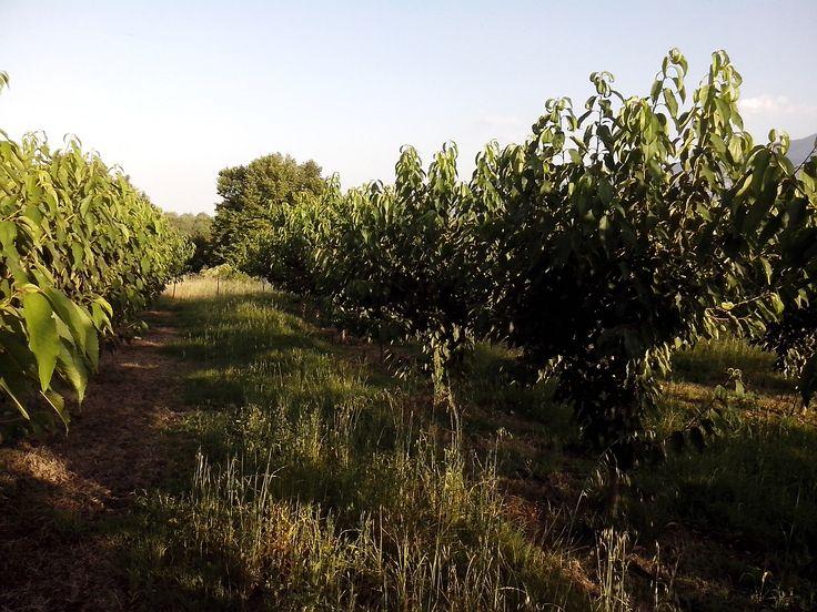 new trees cherries