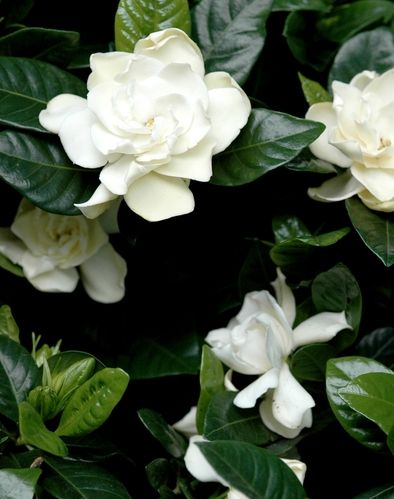 Gardenia is my favorite flower