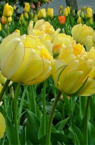 Tulip 'Akebona' ~ a stunning, semi-double tulip