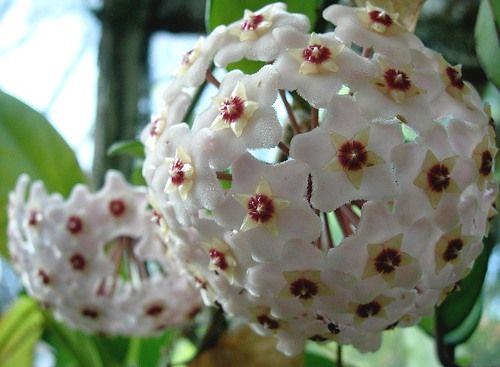 Cómo Decorar Jardines con Flores: Flor de Nácar, Hoya Carnosa