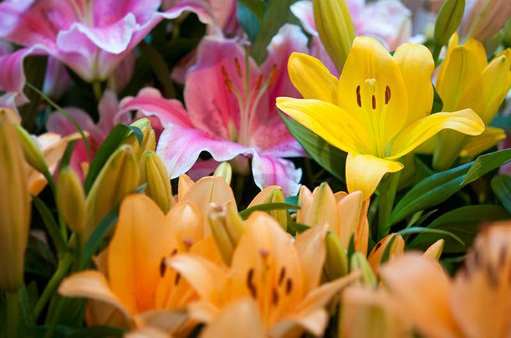 Beautiful lilies blooming in the studio