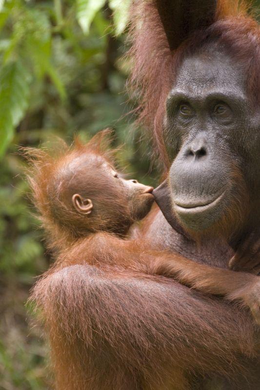 A kiss is a kiss.  #Orangutan Foundation