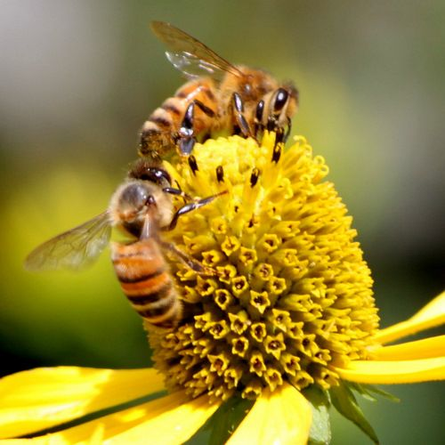 honey bees disappearing - 500×500
