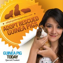 Litter Training Guinea Pigs: Is It Possible? - Guinea Pig Today