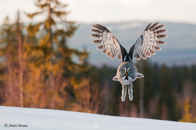 Lapinpöllö - Great Grey Owl by Antti Peuna, via Flickr