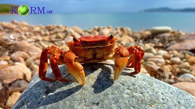 Корм для крабов. Крабы питаются мертвыми морскими животными и их остатками  #корм #кормим #кормдляживотных #ем #еда #жужа #животные #краб #природа #фото #фотодня #фотоживотных #красивыекартинки #интересно #милота #instadaily #pics #picoftheday #awesome #amazing #animals #animalsaddict
