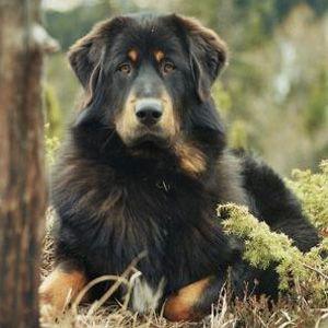 Do Khyi / Dokhyi / Do-Khyi / Tibetdogge / Tibet Mastiff / Tibetan Mastiff / Tibetaanse Mastiff - Index