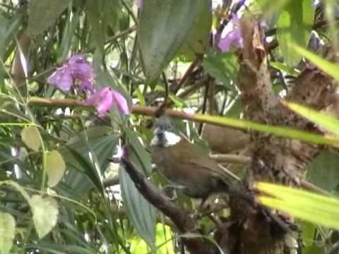 Australia Whip Bird- reminds me of home :) Found in Far North Queensland rainforest.