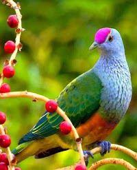 Jambu Fruit Dove,( Ptilinopus jambu) -  confined to the Sundaic lowlands, from peninsular Thailand, Sabah, Sarawak and Peninsular Malaysia, Singapore, Sumatra, West Java, and Indonesia