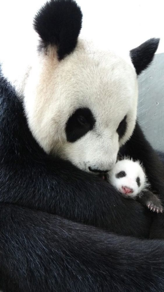 手机壳定制air max  cheap uk online Giant Panda Yuan Yuan cuddles her newborn baby girl Yuan Zai