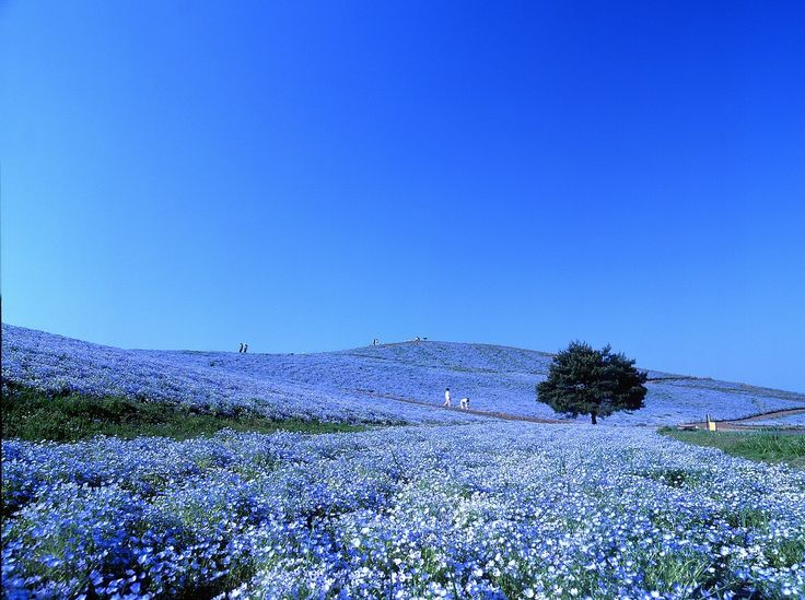 Hitachi Seaside Park - Nemophila #Wonderful_Japan