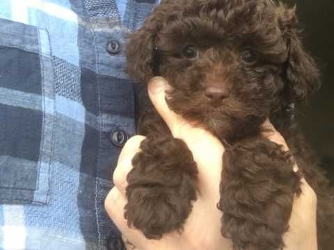 Dogs For Sale In The Uk Pets4homes Dogs For Sale Labradoodle Puppy Labradoodle Puppies For Sale