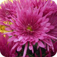 chrysanthemes-truffaut-servon-2015