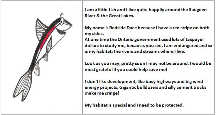 I am a little fish and I live quite happily around the Saugeen River & the Great Lakes.  My name is Redside Dace because I have a red stripe on both my sides.  At one time the Ontario government used lots of taxpayer dollars to study me, because, you see, I am endangered. So is my habitat; the rivers and streams where I live. Look as you may, pretty soon I may not be around.   I would be most grateful if you could help save me!