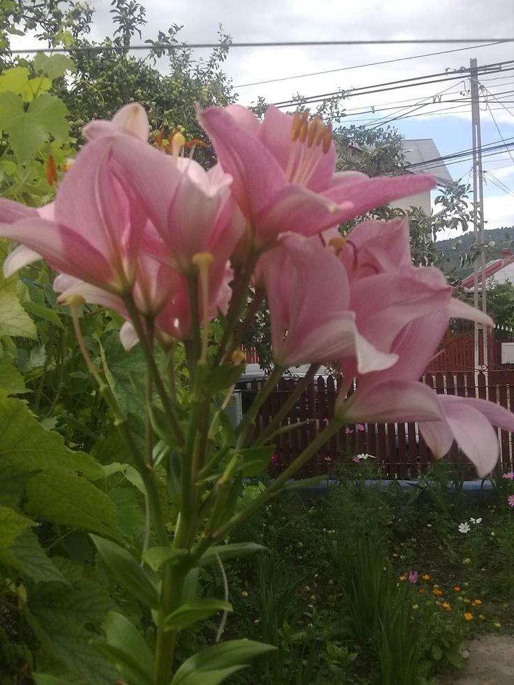 crin floare din gradina mea