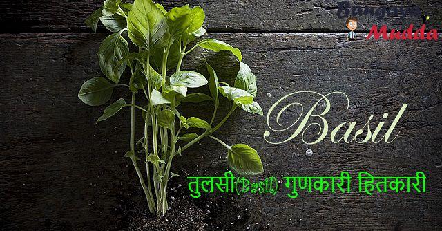 तुलसी (Ocimum tenuiflorum) तो जरूर देखी ही होगी । या फिर कही ना कही तुलसी के बारे में पड़ा या सुना होगा । भारतीय जनमानस में तुलसी(Basil) सिर्फ एक पौधा ही ...