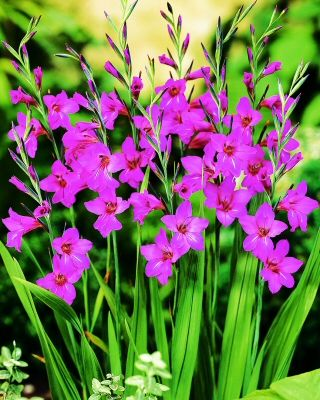 communis byzantinus Bulbs   Gladioli Bulbs communis byzantinus   Buy Gladioli Flower Bulbs Online   Bloms Bulbs UK An Award Winning Supplier