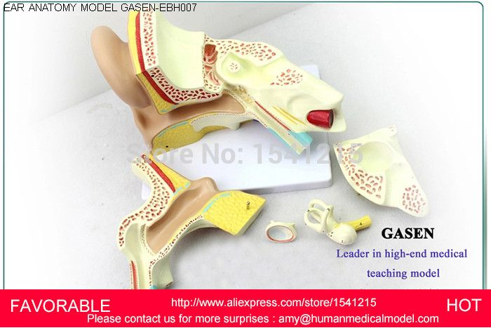 LISTENING TEACHING MODEL,EAR ANATOMICAL MODEL,ANATOMY MODEL,AURICLE,HUMAN EAR EXTERNAL EAR MIDDLE EAR INNER GASEN-EBH007